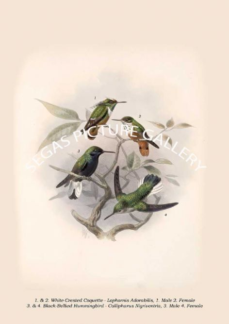 Fine art print of the Black-Bellied Hummingbird - Callipharus Nigriventris - White-Crested Coquette - Lophornis Adorabilis by Osbert Salvin & Frederick Duncane Godman (1879-1904)